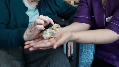A cracking time with spring chicks at Bluegrove House care home